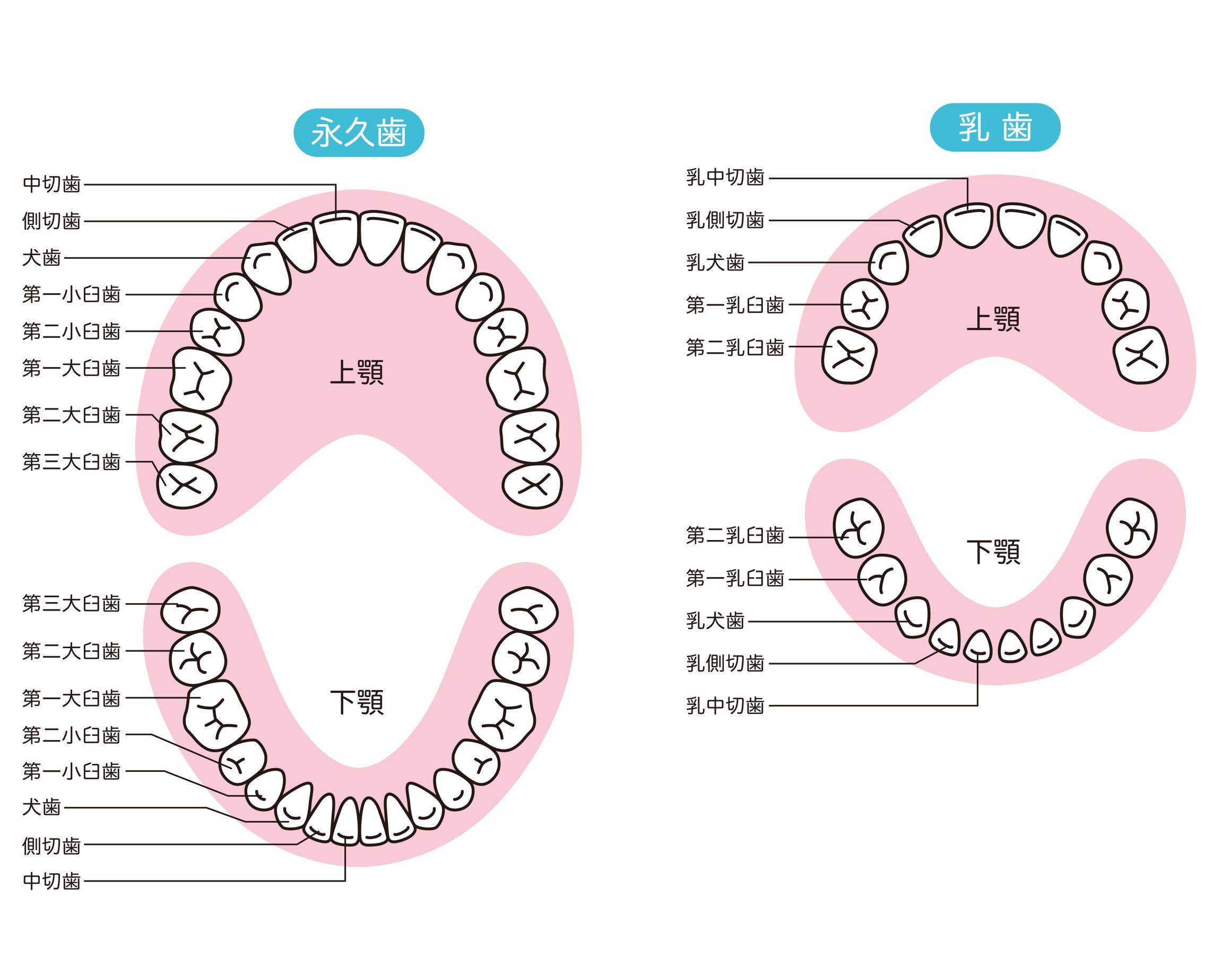 本数 乳歯